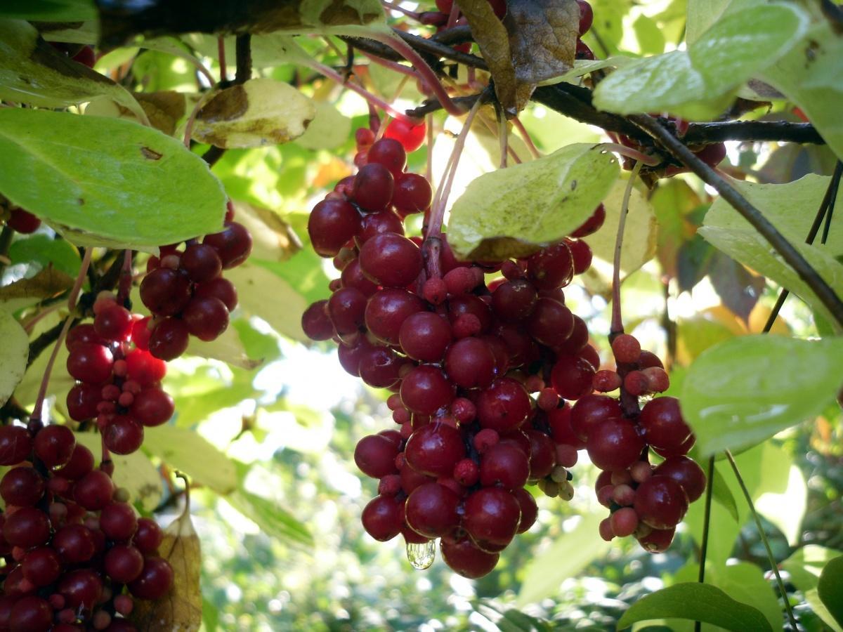 «Плод пяти вкусов» — лимонник китайский