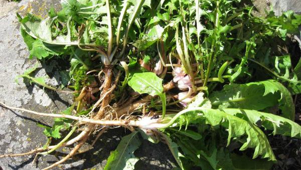 Травы, которые проникают в суставы и восстанавливают хрящи в несколько раз лучше химии! Целительные корни.