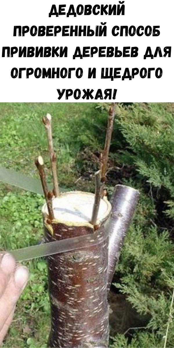 Дедовский проверенный способ прививки деревьев для огромного и щедрого урожая!