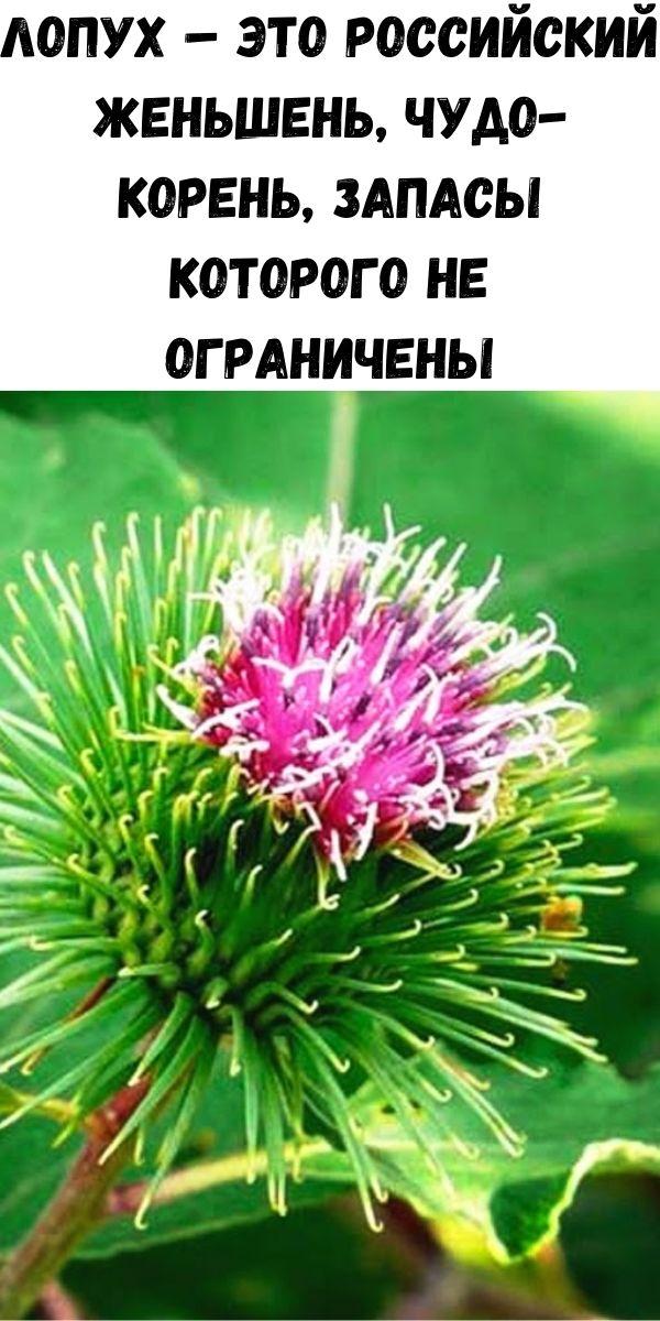 Лопух – это российский женьшень, чудо-корень, запасы которого не ограничены