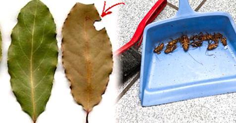 Вы больше никогда не увидите ни одного таракана! В каждом уголке вашего дома разместите несколько листьев этого растения