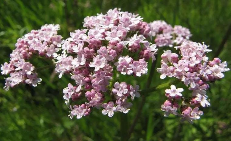 Как запах валерианы может омолаживать организм?